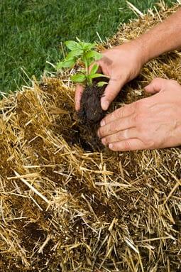 Planting seedlings in straw bales